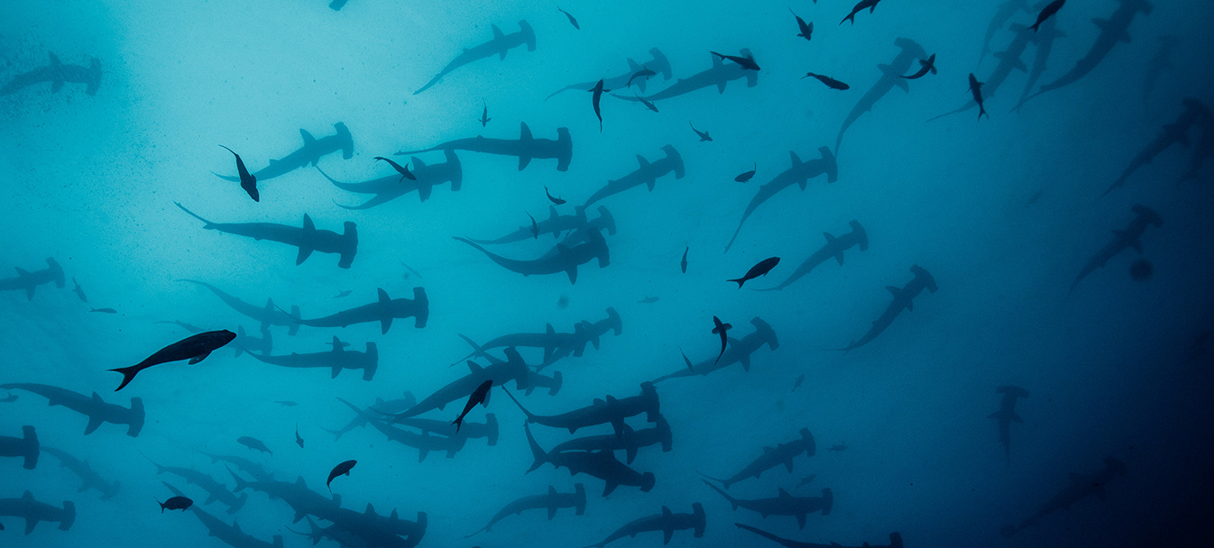 Schooling hammerheads in the ocean