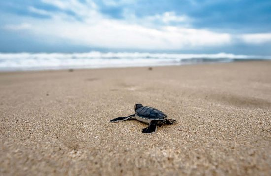 Little turtle running to the sea